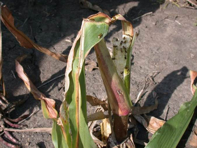 corn rootworm adults figure 1.jpg