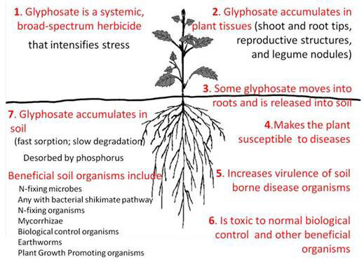 Figure 6 Interactions Of Glyphosate With Plant And Soil Biology Adapted From Huber S Presentation 14
